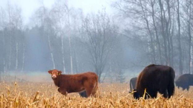 Perierga.gr - Αγελάδα το... έσκασε με ένα κοπάδι άγριους βίσονες