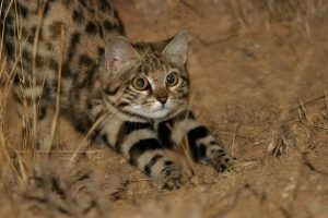 Perierga.gr - Αυτή η χαριτωμένη γάτα είναι από τις πιο επικίνδυνες του πλανήτη