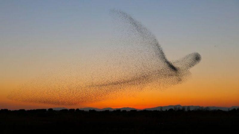 Perierga.gr - Σμήνος πουλιών σχηματίζει τεράστιο πουλί στο πέταγμά του!