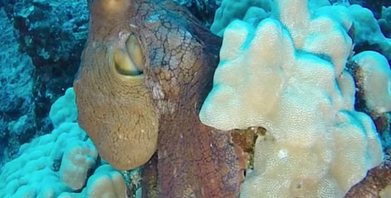Perierga.gr - Χταπόδι αλλάζει χρώμα σε δευτερόλεπτα για να προστατευτεί