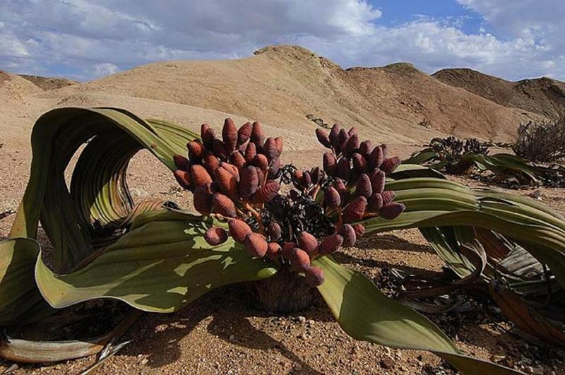 Perierga.gr - Ένα φυτό που έχει μόνο δύο φύλλα και μπορεί να ζήσει 1000 χρόνια!