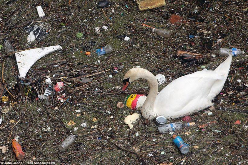 "Perierga.gr - Κύκνος ""παλεύει"" με σκουπίδια στον Τάμεση"