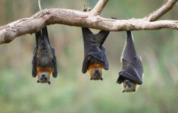 Perierga.gr - Οι νυχτερίδες που δεν γερνούν ποτέ!