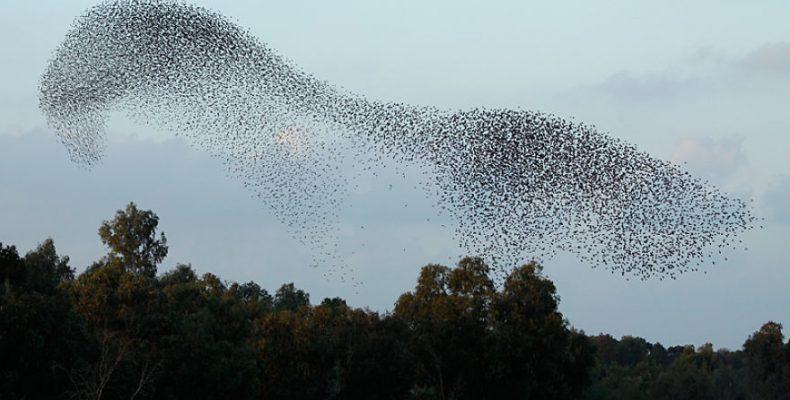 Perierga.gr - Σμήνη πουλιών σε μοναδικούς σχηματισμούς