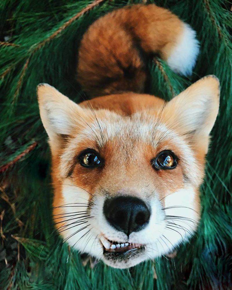 Perierga.gr - Η πιο χαρούμενη αλεπού του κόσμου!