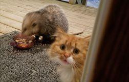 Perierga.gr - Η επική αντίδραση μιας γάτας που της κλέβουν το φαγητό!