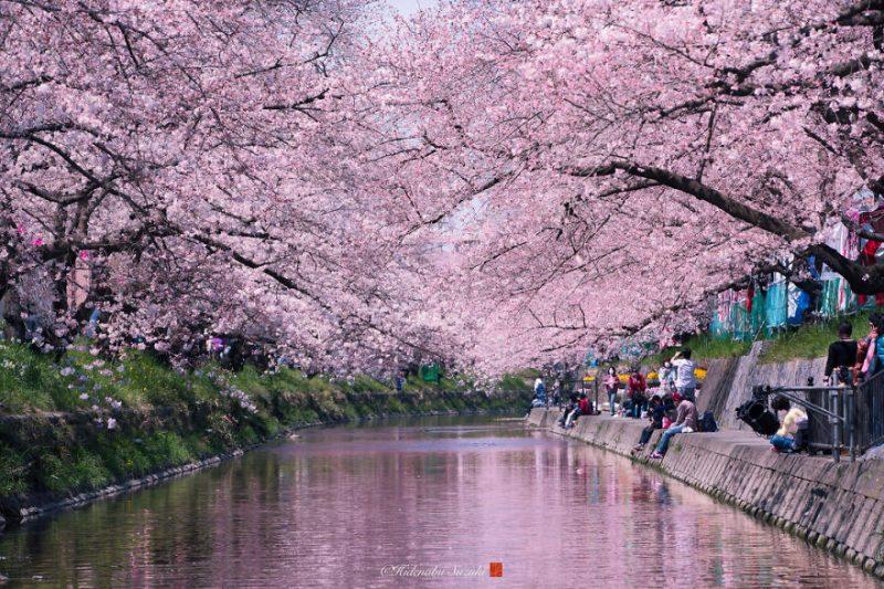 Perierga.gr - Οι ανθισμένες κερασιές της Ιαπωνίας