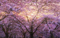 Perierga.gr - Οι κερασιές άνθισαν στο Άμστερνταμ