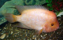 Perierga.gr - Ένα ψάρι που λατρεύει τα χάδια!