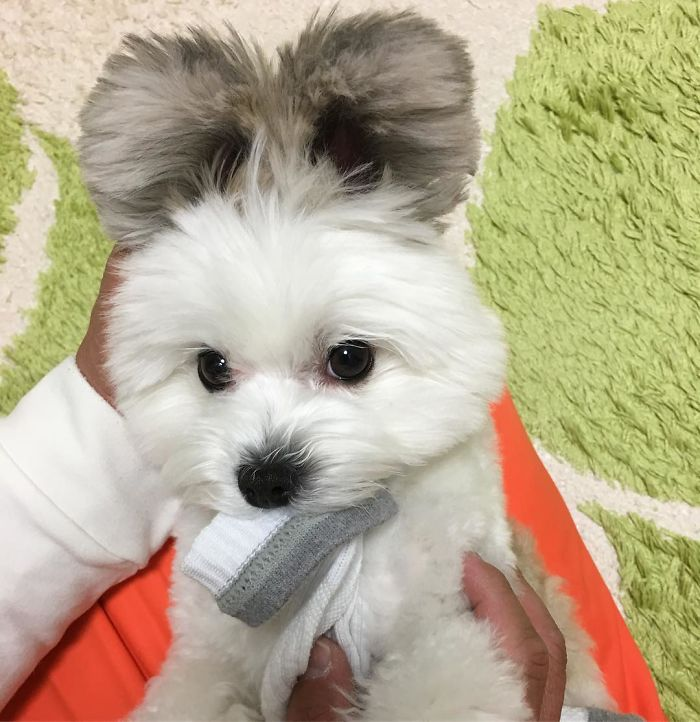 Perierga.gr - Ένας σκύλος με αυτιά... Μίκυ Μάους!