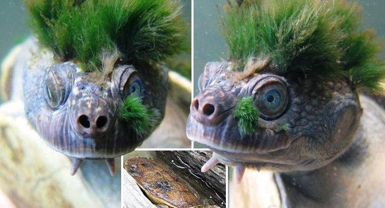 Perierga.gr - Το σπάνιο είδος χελώνας που μένει κάτω από το νερό 72 ώρες κινδυνεύει με εξαφάνιση