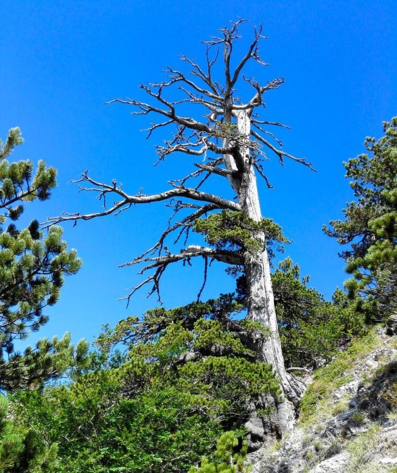 Perierga.gr - Το αρχαιότερο δέντρο της Ευρώπης είναι 1.230 ετών και αναπτύσσεται ακόμα