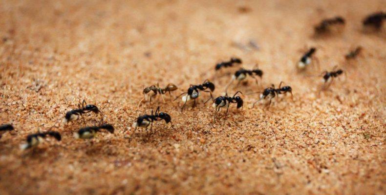 Perierga.gr - Εφευρετικότητα επιβίωσης από μυρμήγκια... καμικάζι!