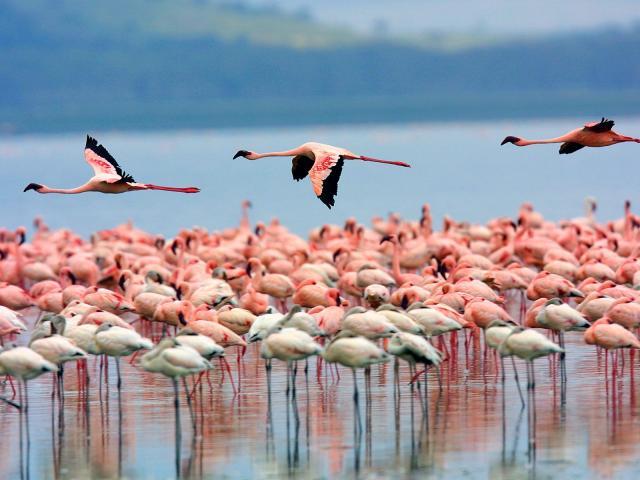 Φλαμίνκο στη λίμνη Nukuru