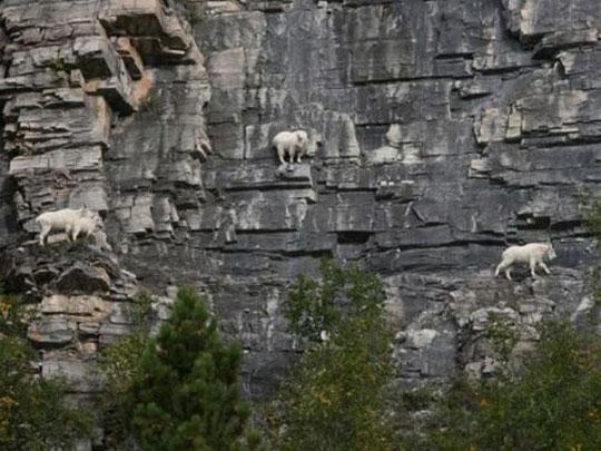 κατσίκες