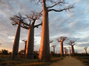 """Baobab, τα """"ανάποδα δέντρα"""""""