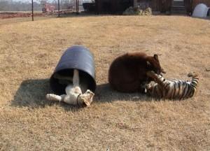 Μια τίγρης, ένα λιοντάρι και μια αρκούδα μεγαλώνουν σαν οικογένεια!