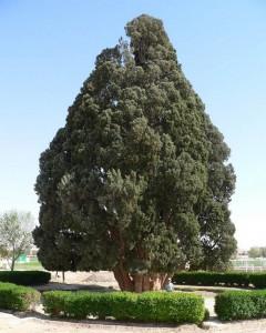 Τα γηραιότερα δέντρα στον κόσμο!