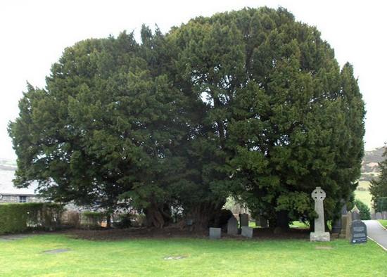 Perierga.gr - Τα γηραιότερα δέντρα