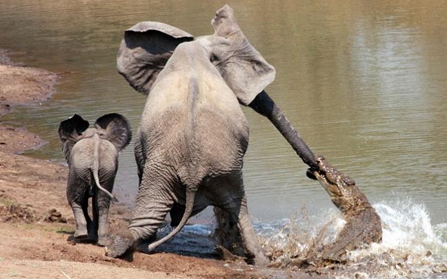 Perierga.gr - Ελέφαντας εναντίων κορκοδείλου