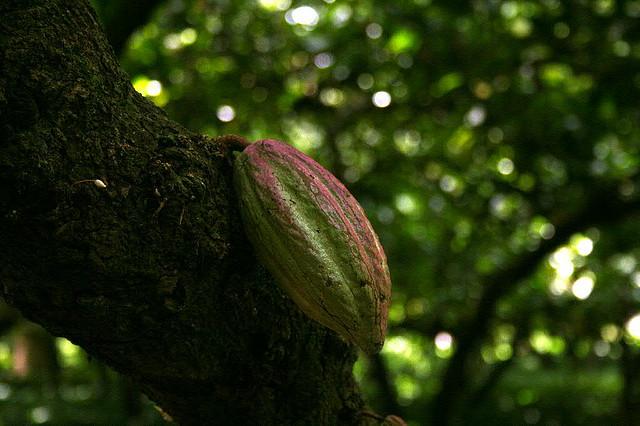 Perierga.gr - Κακαόδεντρο