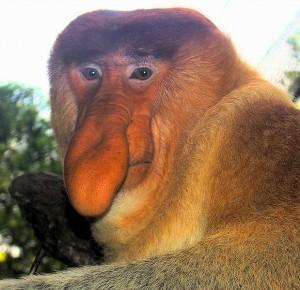 Perierga.gr - Η μαϊμού με τη μεγ'αλη μύτη!