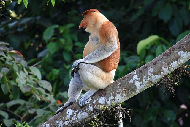 Perierga.gr - Η μαϊμού με τη μεγάλη μύτη!