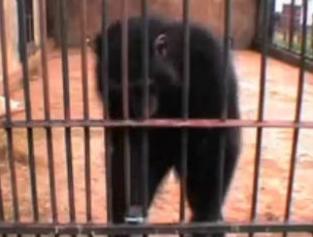 Perierga.gr - Είσαι πιο έξυπνος από ένα χιμπατζή;