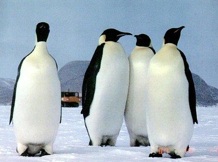 Perierga.gr - Ριψοκίνδυνος πιγκουίνος