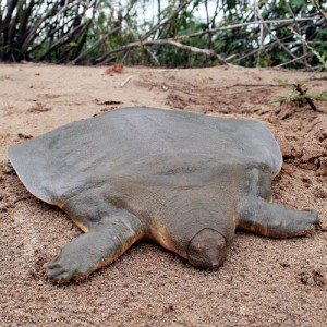 Perierga.gr - Επίπεδες χελώνες!