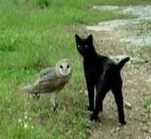 Perierga.gr - Γάτα και κουκουβάγια παίζουν