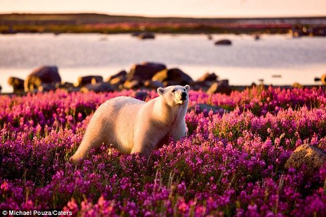 Perierga.gr - Μια πολική αρκούδα στους ανθισμένους αγρούς