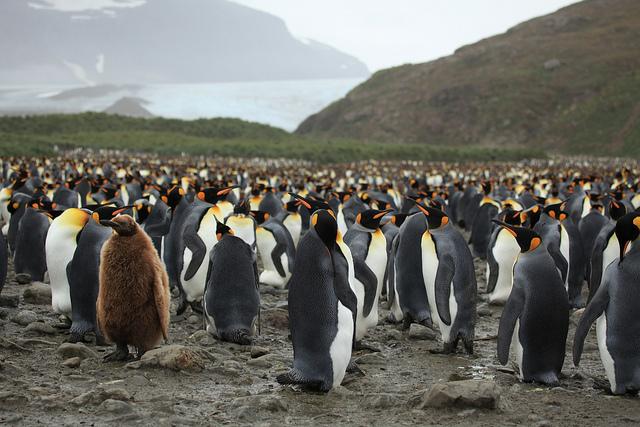 Perierga.gr - Αυτοκρατορικοί πιγκουίνοι
