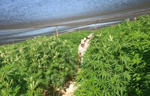 Perierga.gr - Η μεγαλύτερη φυτεία μαριχουάνας!