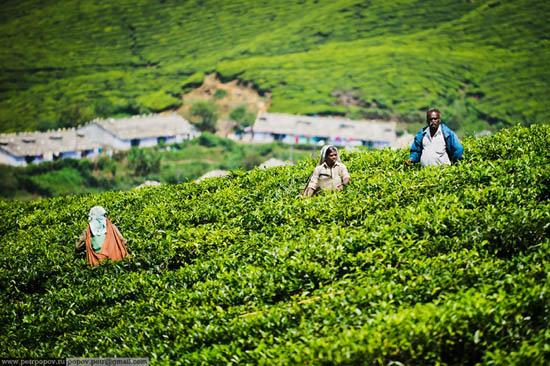 Perierga.gr - Η συγκομιδή τσαγιού στην Κεράλα