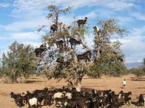 Κατσίκες πάνω σε δέντρα!