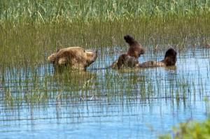 Perierga.gr - Η πιο αραχτή αρκούδα