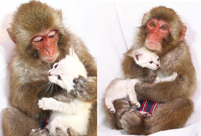 Perierga.gr - Μια μαϊμού που λατρεύει τις γάτες