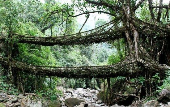 perierga.gr - Φυσικές γέφυρες σε δάση της Ινδίας