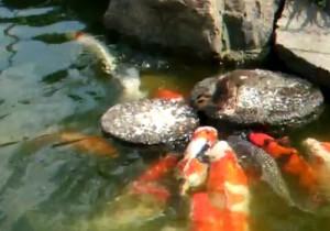 Απίστευτο! Ένα παπάκι ταΐζει τα ψάρια της λίμνης!