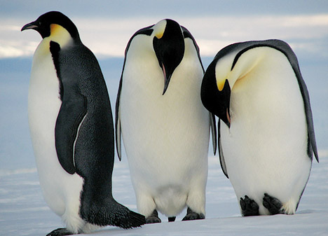 Perierga.gr - Τεμπέλης πιγκουίνος κλέβει πέτρες από... τη φωλιά του γείτονα!