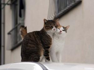 """Το """"μαρτύριο"""" ενός... ερωτευμένου γάτου"""