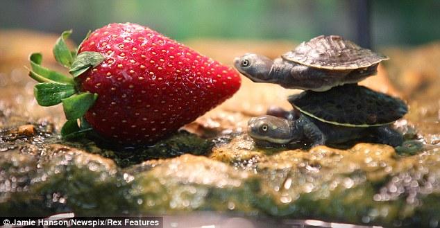 Perierga.gr - Μαθήματα συνεργασίας από δύο χελωνάκια