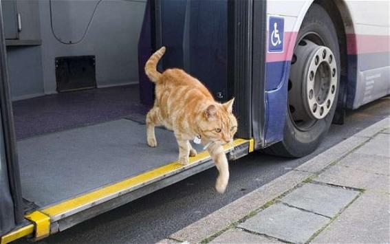 Perierga.gr - Γάτος παίρνει κάθε μέρα το λεωφορείο!