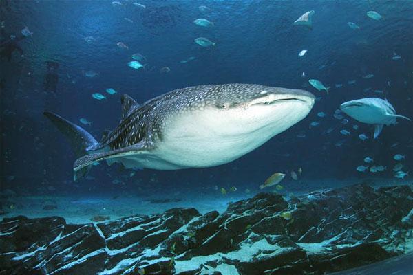 perierga.gr - Το μοναδικό ενυδρείο με... φαλαινοκαρχαρίες!