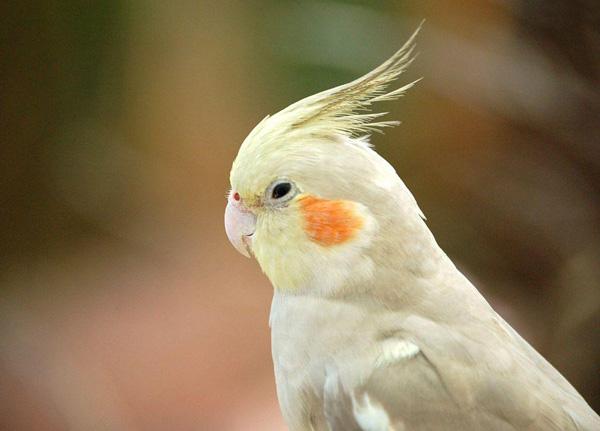 perierga.gr - Αυτός ο παπαγάλος... χορεύει Ποντιακά!
