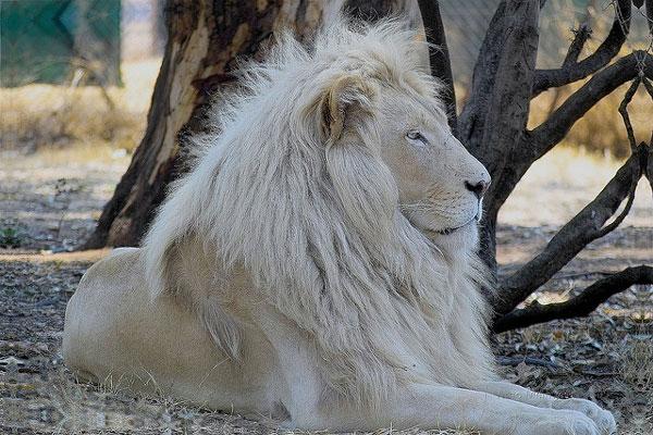 perierga.gr - Το υπέροχο... κάτασπρο λιοντάρι της ζούγκλας!