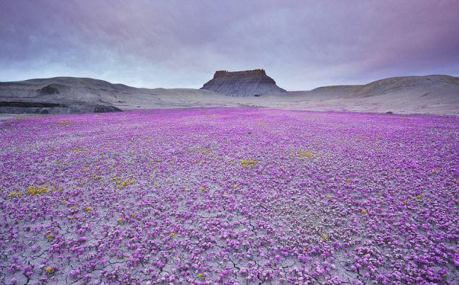 Perierga.gr - Το λουλουδένιο χαλί της ερήμου!
