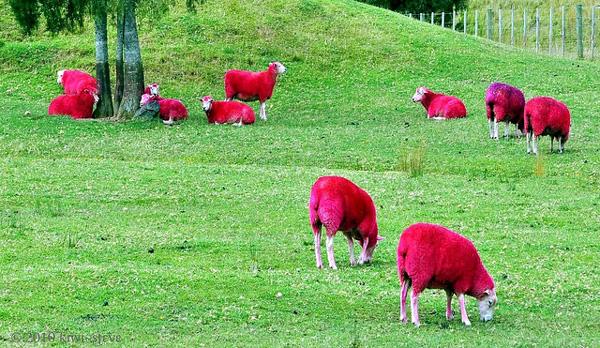 μακελαρησ νεα ζηλανδια Twitter: Τι κάνουν τα ροζ… πρόβατα μέσα στο πάρκο;