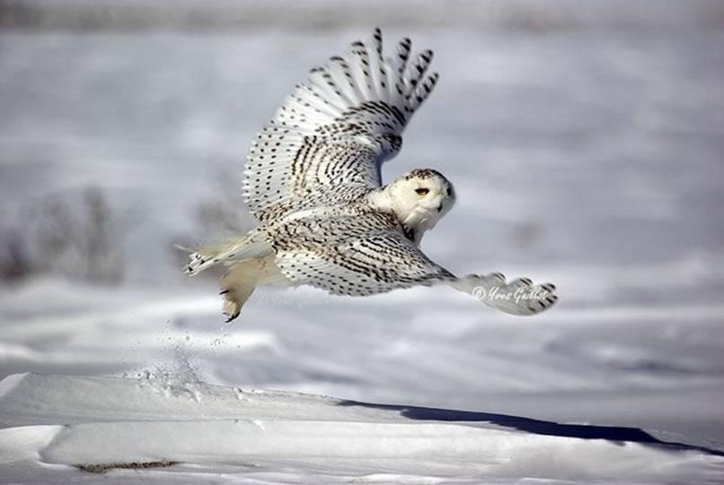 Perierga.gr - Οι κουκουβάγιες του χιονιού